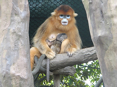 golden_snub_nosed_monkey002