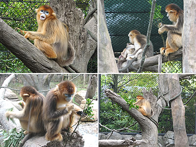 golden_snub_nosed_monkey004