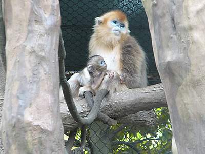 golden_snub_nosed_monkey005